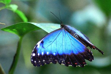 Blauer Segler