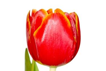 Bild mit Natur, Elemente, Wasser, Pflanzen, Blumen, Blumen, Blume, Pflanze, Tulpe, Tulips, Tulpen, Tulipa, Flower, Flowers, Tulip, rote Tulpe, rote Tulpen, red tulip, red tulips