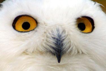 Bild mit Tiere,Menschen,Körperteile,Köpfe,Augen,Nasen,Vögel,Raubvögel,Eulen,Schneeeulen,Tier,Eule,Schneeeule,Schnee Eule,Uhu,Bubo scandiacus,Bubo scandiaca,Nyctea scandiaca,Uhus,Bubo,Vogelart