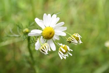 Bild mit Natur,Pflanzen,Blumen,Korbblütler,Astern,Kamillen,Farben,Gelb,Gräser