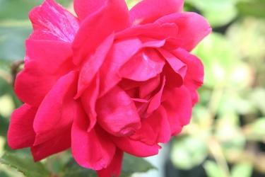 Bild mit Natur, Pflanzen, Blumen, Blumen, Rosen, Magenta, Kamelien, Blume, Pflanze, Rose, Roses, rote Rose, Flower, Flowers, red Rose, osaceae