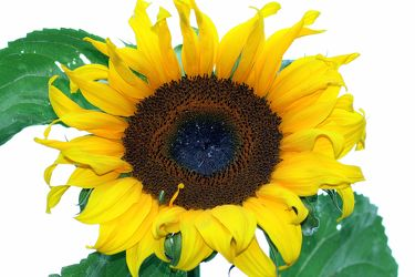 Bild mit Farben,Gelb,Gegenstände,Natur,Pflanzen,Himmel,Lebensmittel,Essen,Blumen,Korbblütler,Sonnenblumen,Blume,Flower,Flowers,Sonnenblume,Sunflower,Sunflowers,Helianthus annuus,Helianthus,Asteraceae