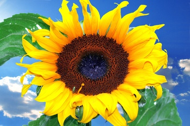 Bild mit Natur,Pflanzen,Blumen,Korbblütler,Sonnenblumen,Farben,Gelb,Himmel,Gegenstände,Lebensmittel,Essen,Sonnenblume,Sunflower,Sunflowers,Helianthus annuus,Blume,Flower,Flowers,Helianthus,Asteraceae