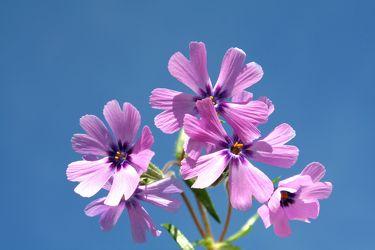 Bild mit Natur,Pflanzen,Blumen,Farben,Rosa,Lila