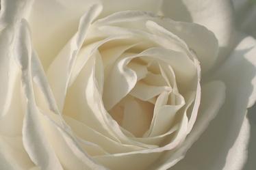 White Rose 5