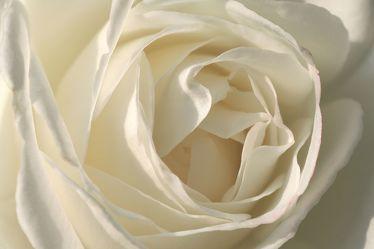 Bild mit Farben, Gegenstände, Natur, Pflanzen, Blumen, Blumen, Weiß, Rosa, Rosen, Blau, Kamelien, Makrofotografie, Blume, Pflanze, Rose, Roses, Makro, Makro Rose, Rosenblüte, Flower, Flowers, osaceae, blue, weiße Rose, weiße Rosen, white Rose, Symbol für Unschuld, Reinheit, Treue, Entsagung, Hochzeitsblume, Tauffblume