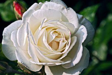 White Rose 7