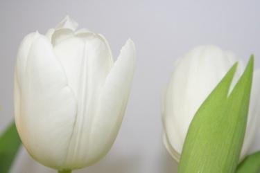 White Tulips 6