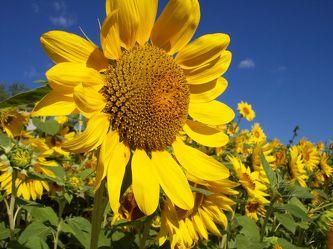 Bild mit Farben,Gelb,Gegenstände,Natur,Pflanzen,Himmel,Lebensmittel,Essen,Blumen,Korbblütler,Sonnenblumen