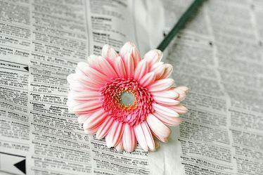 Bild mit Farben, Gegenstände, Natur, Pflanzen, Blumen, Rosa, Korbblütler, Blume, Gerbera