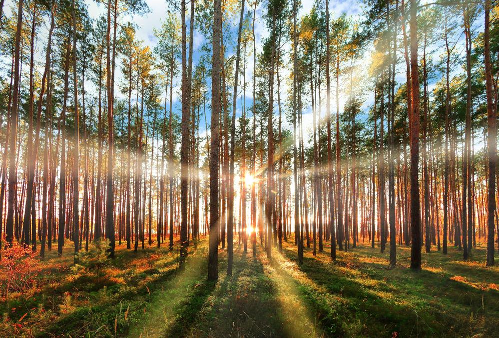bild mit natur bäume nadelbäume wälder herbst wald